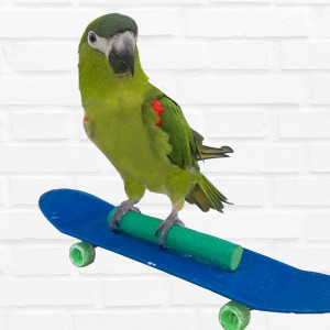 Kiwi, The Skateboarding Parrot - Animal Entertainment in Springfield, Missouri